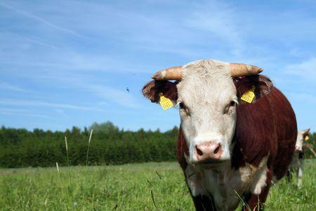 Hereford bull Stock Photo