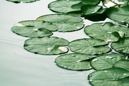 Waterlelie bladeren