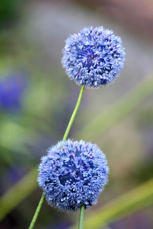 Blooming blue Allium Giganteum, round shape flower Stock Photo