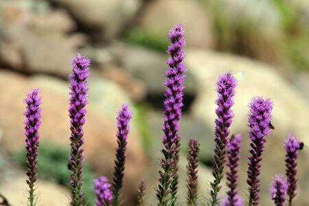 Paars Liatris bloei in de botanische tuin, daglicht Stockfoto