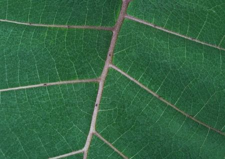 Close up of green leaf showing detailed veining