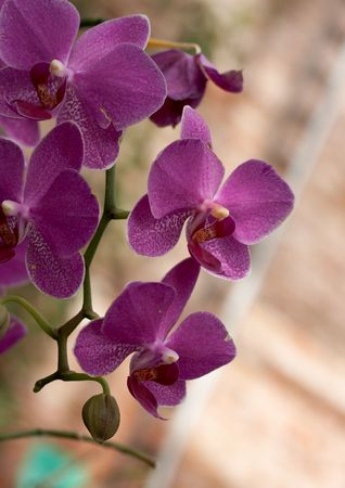 close-up of beautiful purple orchid in botanical garden photo