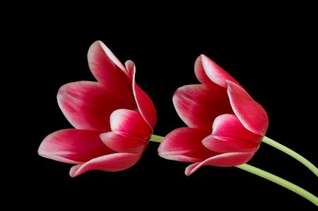Two red tulips isolated on black background photo