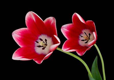Twee rode tulpen geïsoleerd op zwarte achtergrond