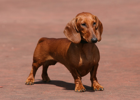 Little dachshund dog on a brown background Stock Photo
