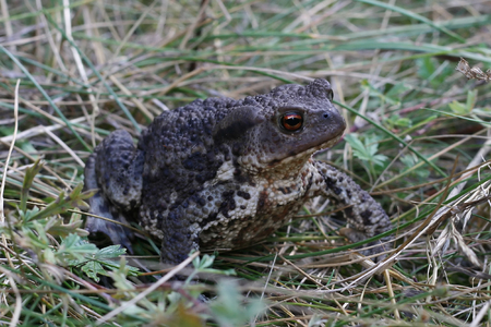 downhearted: a big toad, bufo, in the grass