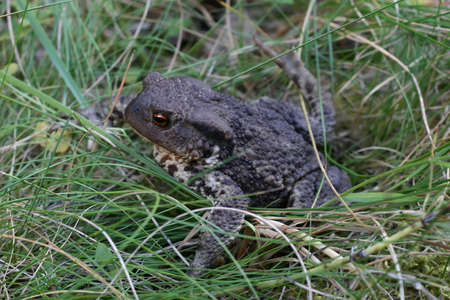 a big toad, bufo, in the grass photo