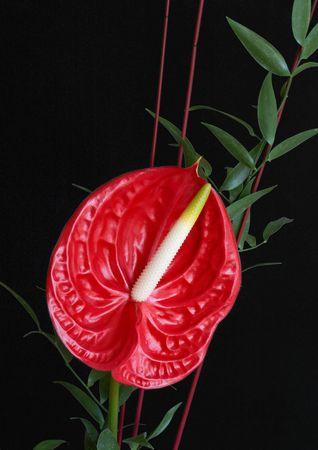 Red Flamingo flower (Anthurium) on black background