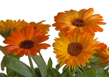 tradional: Closeup of orange flowers on white background