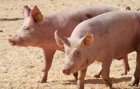 two pink thoroughbred pigs running on stage Stock Photo