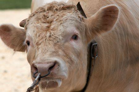 nosering: A portrait of angry bull pulled from nosering Stock Photo