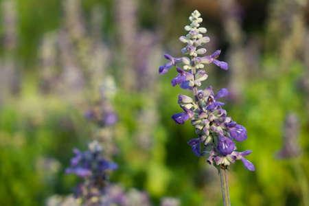 natue: Purple flowers in spring field garden. Stock Photo