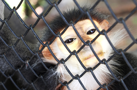 Douc in a cage in Thailand Zoo.