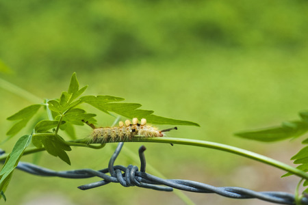 Worm climbing vines across the barbed wire.