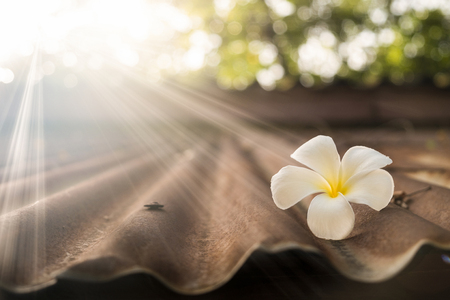 White Plumeria on old zinc roof in morning sunlight