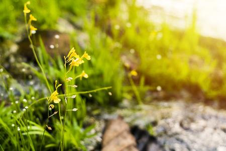 tracheophyta: Utricularia bifida, Yellow wildflowers in the morning sun.
