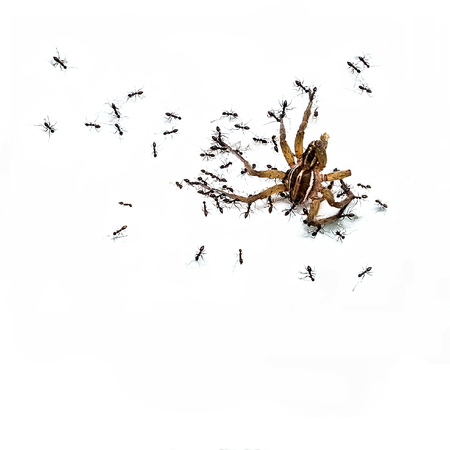 Ants eating a spider isolate background,Harmony leads to success. Stock Photo