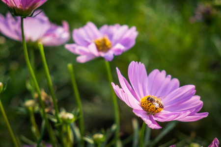 Pink Mexican Aster with bee in the garden Stock Photo