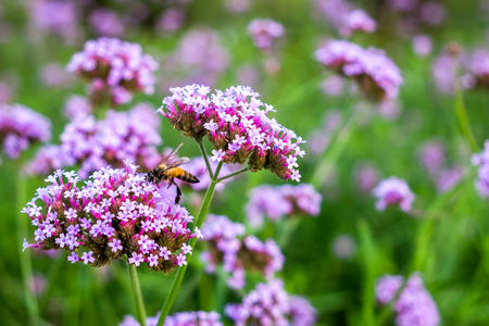 Purple Verbena tiny flowers with bee in morning sun