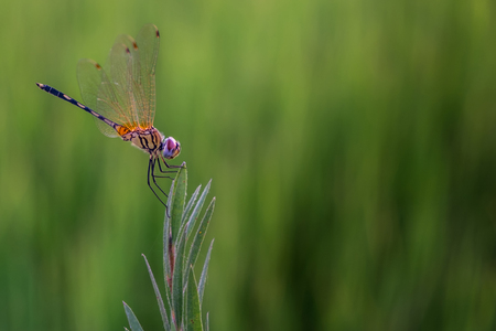Trithemis pallidinervis,The long-legged marsh glider or dancing dropwing is a species of dragonfly found in Asia on the grass,rice field background
