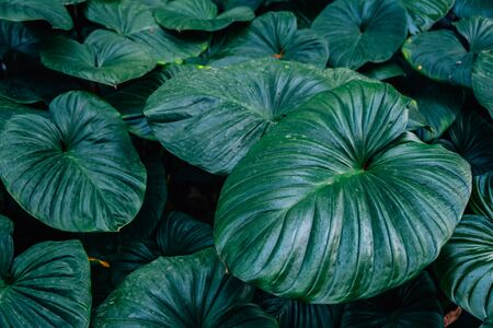 Dark green leaves Homalomena rubescent leaf(King of heart)textured background.