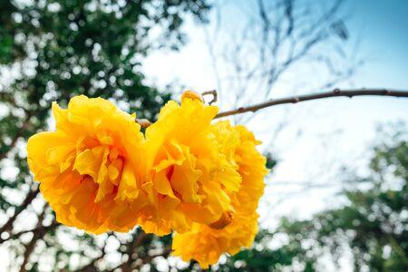 Cochlospermum regium,yellow cotton tree(suphannika:Thai) flower blooming in garde