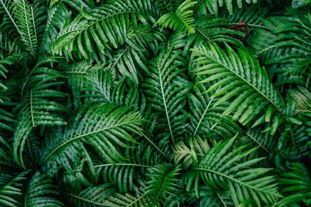 Beautiful ferns ( Blechnum x rasmijoti 'The Royal Project' ) leaves green,Natural floral fern background.