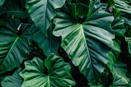 Dark green leaves Philodendron giganteum light and shadow background. Reklamní fotografie