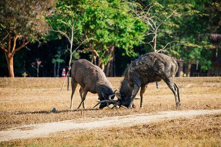 Deer fighting in Khao Yai National Park,Thailand. Reklamní fotografie