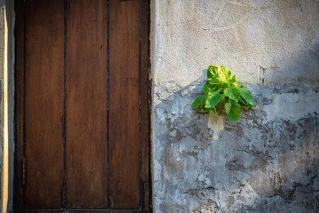 Parasitic plants on the old wall with wooden window. Reklamní fotografie