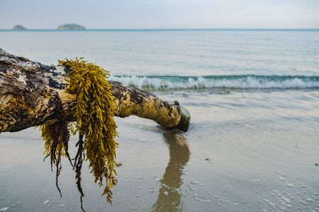 Seaweed on the log on the beach by the sea.