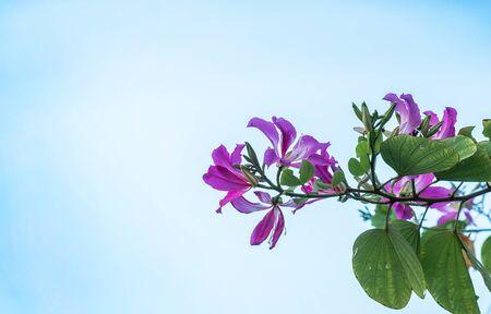 Orchid Tree flower or Bauhinia purpurea with blue sky background. Reklamní fotografie