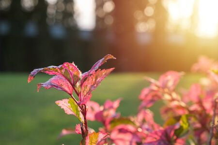 Snowflake hibiscus leaves in morning sunlight background. Reklamní fotografie