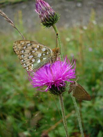 alpen: Alpen flower with butterfly