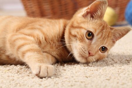 Little cat playing on the carpet. photo
