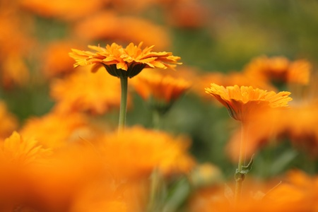Close-up of marigold (calendula) flowers. Selective focus, shallow DOF.