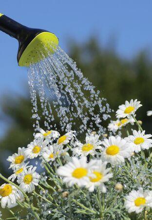 Detalle de la regadera con agua de colada y flores de margarita.