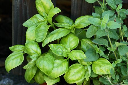 Close-up of fresh basil and oregano in front of wooden fence