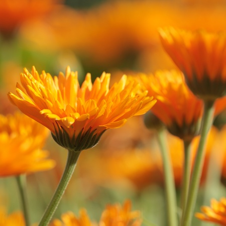 flower close up: Close-up of marigold (calendula) flowers. Selective focus, shallow DOF