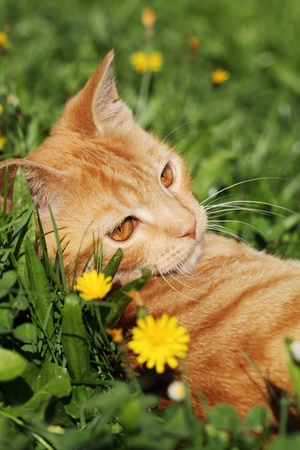Young cat resting in the grass photo