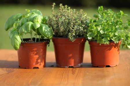 Basil, thyme and parsley in flower pots
