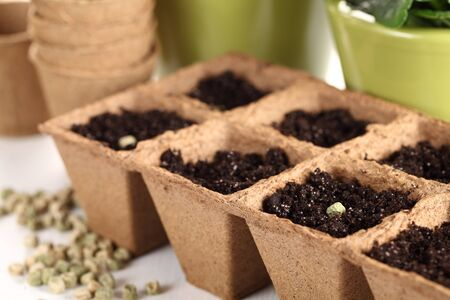 seed pots: Close-up of peas seeds in planting pots