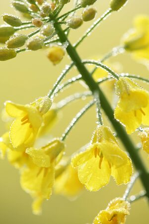 oilseed rape: Close-up of oilseed rape with morning dew. Stock Photo