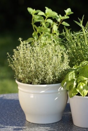 Thyme, basil, rosemary, mint in flower pots Stock Photo