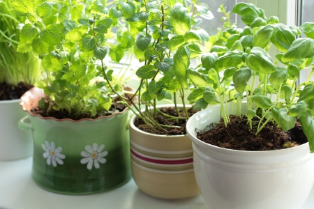 lemon balm: Fresh herbs in pots on a window  basil, mint, lemon balm and chives