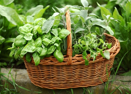 Detail of basket with fresh herbs (basil, sage,oregano) in the garden. photo
