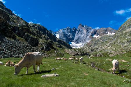 Vacas al pie de la cara norte de Vignemale Foto de archivo
