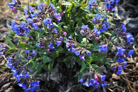 Pulmonaria  Latin Pulmonaria flower photo