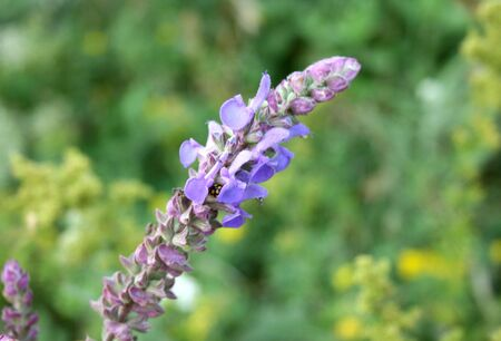 Close-up of lavender flower on the grass background photo