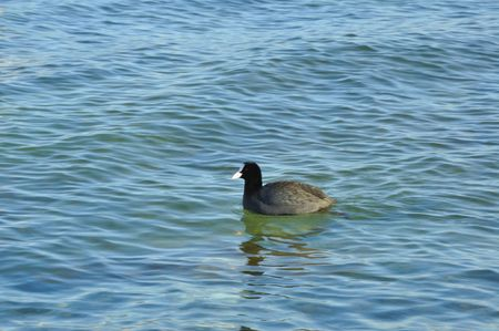Wild duck on blue water Stock Photo - 6385338